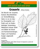 D17 Grauerle