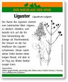 D27 Liguster