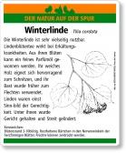 D47 Winterlinde