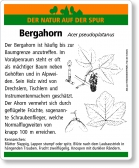 D49 Bergahorn