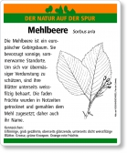 D55 Mehlbeere