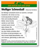 D08 Wolliger Schneeball