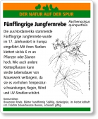 D80 Fünffingrige Jungfernrebe