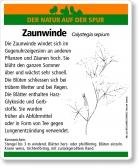 E23 Zaunwinde