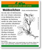 E74 Waldveilchen