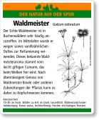 E09 Echter Waldmeister