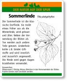 D38 Sommerlinde