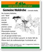D78 Gemeine Waldrebe