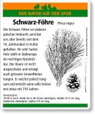 D82 Schwarz-Föhre